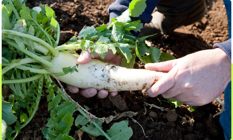 野菜採ってます